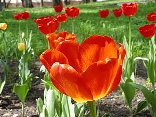 054 Тюльпаны.  Tulips.    98k