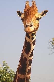 315 Жираф большой. Ему видней.   139k