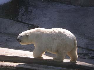 322 Медведь белый.   93k