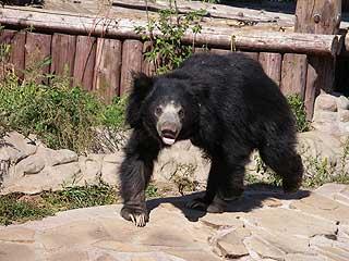 324 Медведь губач.   221k