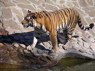 325 Тигр.   221k