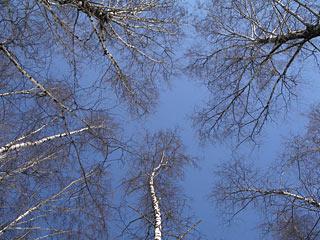 619  Березовый узор.   Birchen tracery.      382k