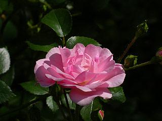 710 Роза.   104k