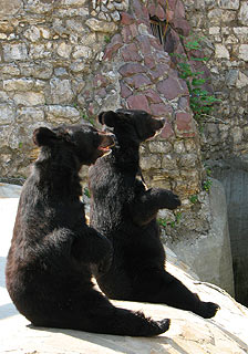 763 Московский зоопарк.  Медведи-попрашайки.  141k
