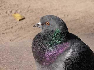 931 Любопытный голубь.   135k