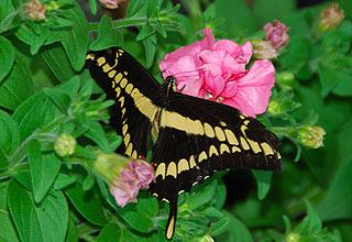 a132   Выставка тропических бабочек.Гагантский парусник - Papilio cresphontes, юг США. Откладывает яйца на цитрусовых, из-за чего его гусениц в народе называют апельсиновыми собаками.       116k