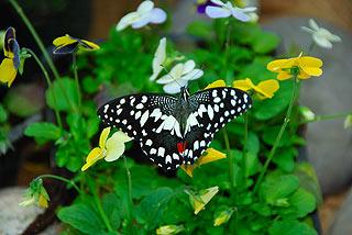 a133   Выставка тропических бабочек.    137k