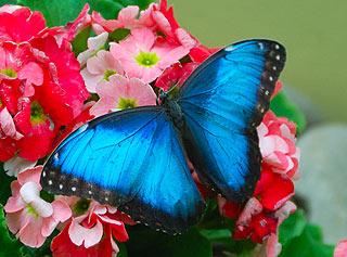 a136   Выставка тропических бабочек.  Morpho peleides Широко распространены во влажных лесах Центральной и Южной Америки.   133k