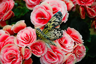 a137   Выставка тропических бабочек.  Idea leuconoe Родина этой белой нимфалиды - Малайзия.      127k