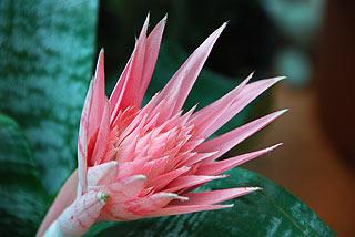 a141   Выставка тропических бабочек.   Считается, что первой из бромелиевых в европейскую культуру  декоративного цветоводства вошла Эхмея полосатая (Aechmea fasciata). Произошло это еще в 1826 году в Бельгии.  122k