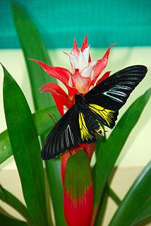 a142   Выставка тропических бабочек.   Troides prattorum, Индонезия.    91k