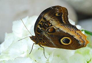 a143   Выставка тропических бабочек.    Caligo memnon Распространены в тропических районах Центральной и Южной Америки. Сходство с совой предопределено глазчатыми пятнами и причудливым рисунком на нижней стороне крыльев, напоминающим перья    133k