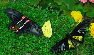 a145   Выставка тропических бабочек.     131k